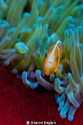 Anemone fish by Sharon English 